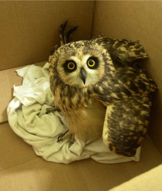 Injured Short-eared Owl rescued last year after being shot by hunters.