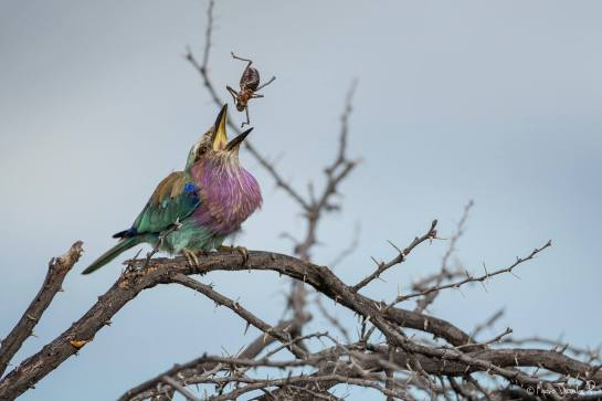 Photo of the Day: Lilac-breaste Roller at lunch